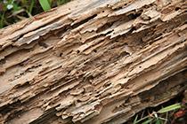 Termite-Wood